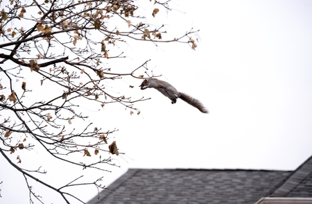 Squirrel leaps from rooftops to tree branches 写真素材
