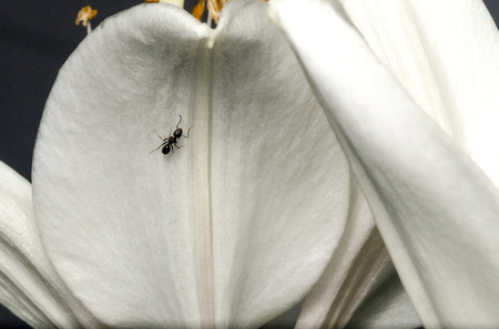 Black ant on white day lily plant 写真素材