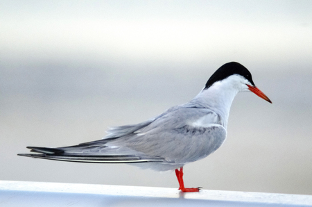 Common Tern Standing On Pier Looking For Food