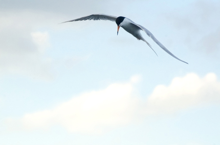 Common Tern Flies Over The Sea Searching For Food