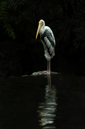 Large Painted Stork Like Bird Waits For Fish To Eat 写真素材