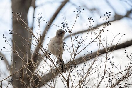 Northern Mockingbird picking berries from trees during winter