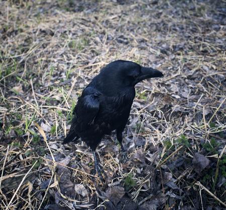 ornithology: Black Raven with open beak. Dark crow jump on leaves.