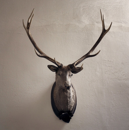 antik: Mounted head of deer. Stuffed stag with antlers monumental. Hunting antique trophy. Taxidermy of deers head hung on a white wall.