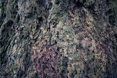 dank: Tree bark texture. Tree trunk. Old wooden background. Detail of trunk. Natural rustical scene. Detail of rind, rough wooden crust. Abstract color photo texture. Monumental tree and Its trunk with moss