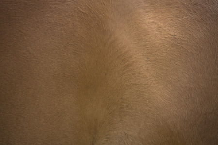 animal hair: Horse fur texture. Horse hair background. Brown animal skin material for 3d models.