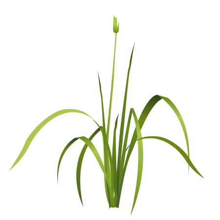 Vector isolated reed. Water plant. Isometric clump of reed growing on the edge of the pool and pond. Individual flower bamboo reed.