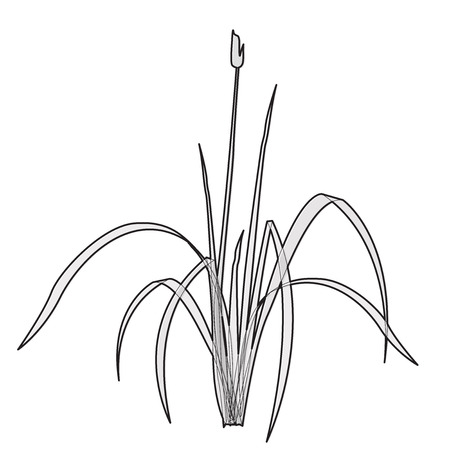 clump: Vector isolated reed. Outlined water plant. Isometric clump of reed growing on the edge of the pool and pond. Individual flower bamboo reed.