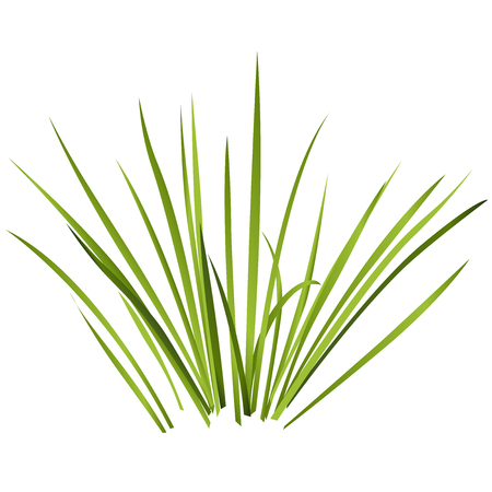 calamus: Individual rushes flower bamboo reed with green leaves. Illustration