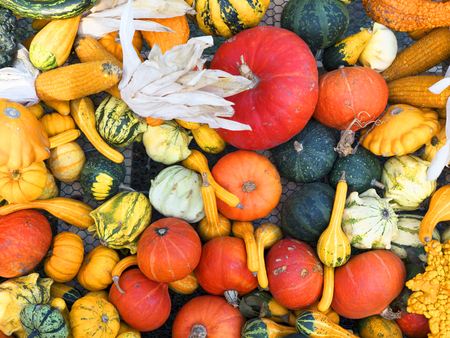 medula: Pumpkin harvesting. Halloween pumpkins. Orange vegetable for pumpkin soup and other squash products. Autumn rural rustic background with vegetable marrow. Various types and shapes of gourds.