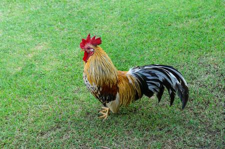 Chicken in the garden