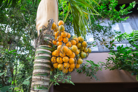 Areca nut or Areca catechu on the tree