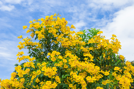 yellow Flowers of Golden Shower Tree in summer