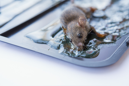 the rat in glue stick on the mousetrap Stock Photo