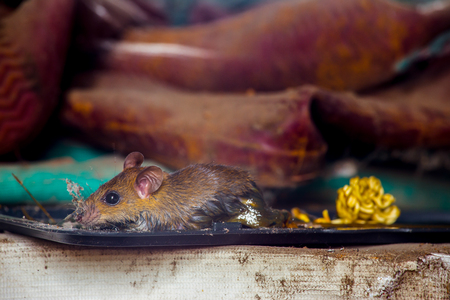 A wild mouse a black mouse trap Stock Photo