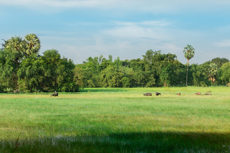Water buffaloes on rice field at summer day in An Giang, Southern thailand