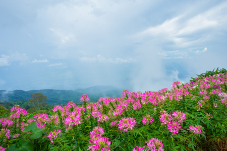 Beautiful pink flowers on mountains in thailand