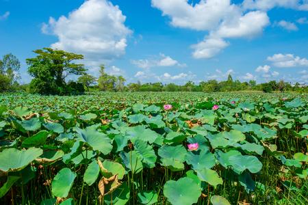 Estanque con lotos. Lotos en la temporada de crecimiento. Plantas decorativas en el estanque.