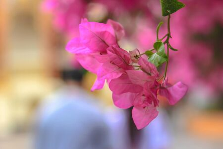 Bougainvillea flowers close up.Blooming bougainvillea.Bougainvillea flowers as a background.Floral background Stock Photo