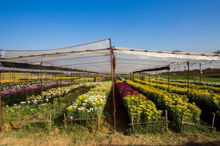 saraburi,thailand,7,Dec,2019,Flower planting farms for sale in Thailand and for export to other countries in Saraburi province, Thailand