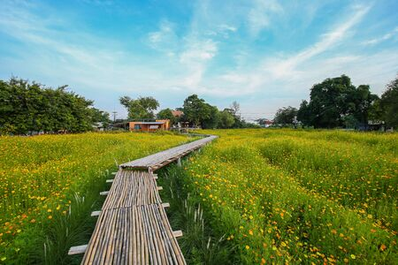 Nature landscape with footpath going to the horizon through blossoming field of dandelions, countryside in Thailand