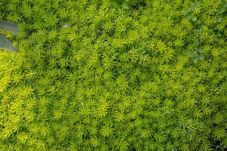 Grass texture or grass background. Green grass for golf course, soccer field or sports background concept design. Artificial green grass