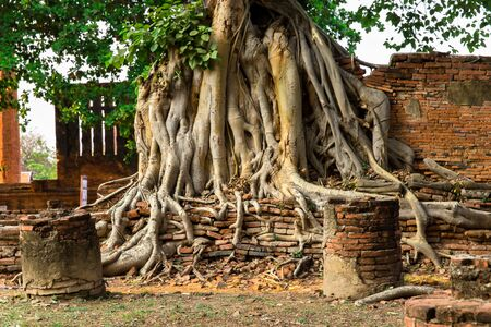 tree root on red brick wall in historical building Banco de Imagens