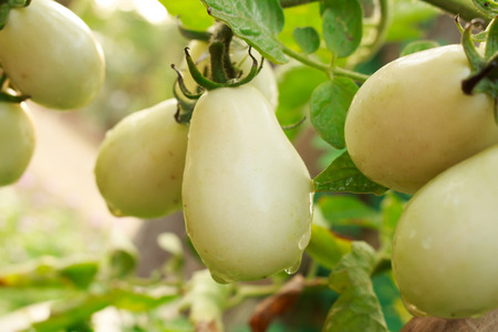 israel farming: Plum tomatoes on plant in a greenhouse