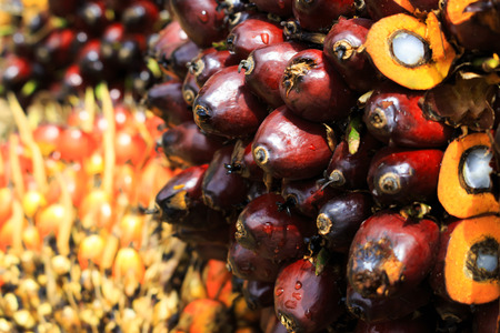 Oil Palm: Close up of Palm Oil fruits on the plantation floor. Stock Photo