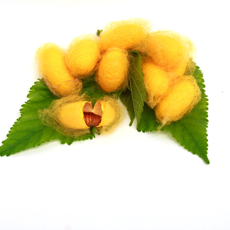 cocoons: Silk Cocoons with Silk Worm on Green Mulberry Leaf