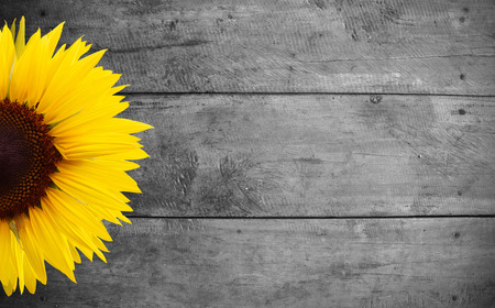fence: sunflower on old wood