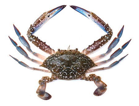 garra: Cangrejo azul aislado en fondo blanco