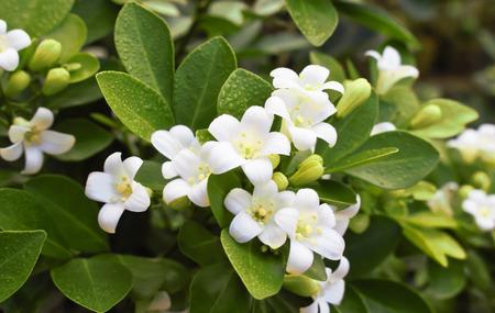 jessamine: Orange Jessamine flower