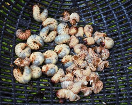 grub worms Stock Photo