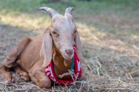 Brown goat in field, free.