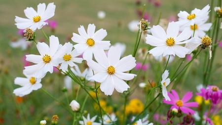 graden: White  cosmos flowers in graden