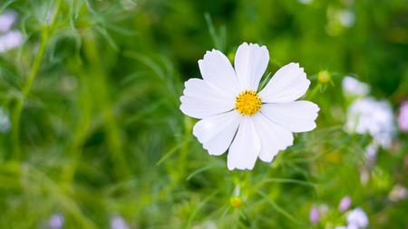 graden: White cosmos flowers in graden Stock Photo