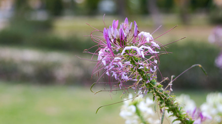 thriving: Pink And White Spider flowerCleome hassleriana in the garden