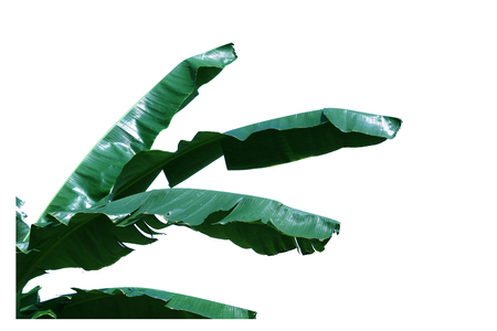 Isolated banana leaves on a white background.