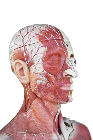 human anatomy Stock Photo - 23389631