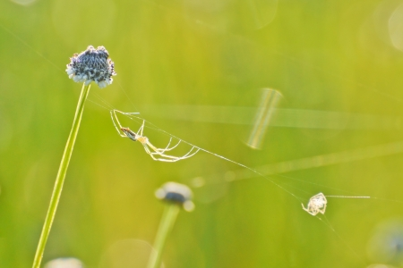 living thing: a spider walking on its thin web line near a wild flower