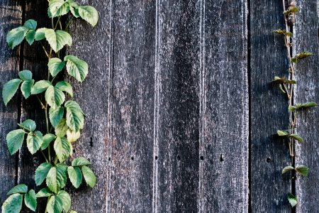 wood plank wall texture with vine at the edge photo