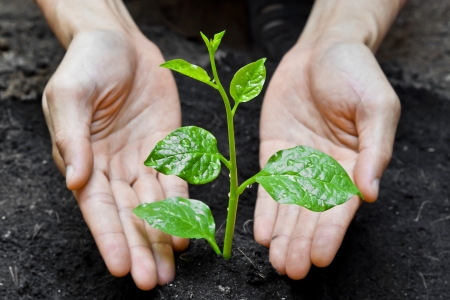 natural love: two hands holding and caring a young green plant   planting tree