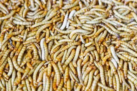 mealworm: mealworm farming   Tenebrio molitor L