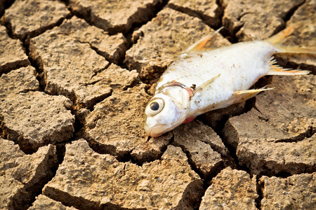 fish died on cracked earth   drought   river dried up  famine   scarcity   global warming   natural destruction   extinction photo