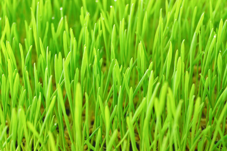 wheatgrass background photo