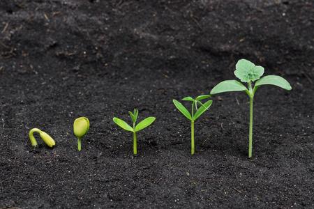 germination: Secuencia de la germinaci�n de la semilla en el suelo, el concepto de la evoluci�n Foto de archivo