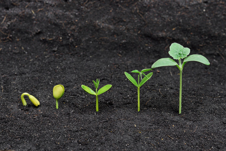 growing: Sequence of seed germination on soil, evolution concept