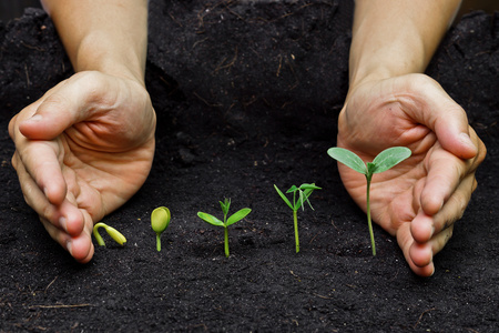 soil: hands holding plants growing in a sequence of seed germination on soil, evolution concept