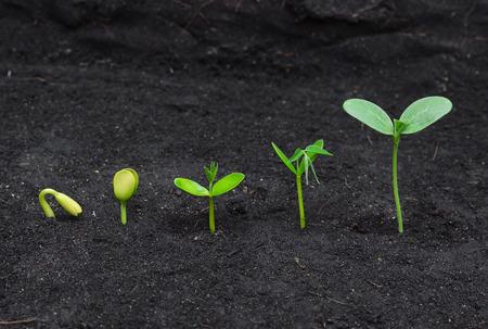judias verdes: Secuencia de la germinación de la semilla en el suelo, el concepto de la evolución Foto de archivo